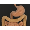 11 55 22 616 human digestive organs 04 4