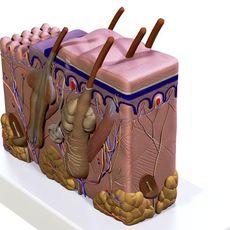 Skin 3D Model
