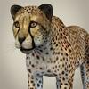 14 28 12 631 realistic cheetah 02 4