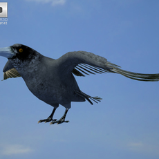 Common Raven (Corvus Corax) 3D Model