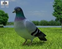 Rock Dove (Columba Livia) 3D Model