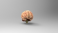 Free Brain_Textured_Free 3D Model