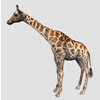 16 01 22 359 giraffe 1 4