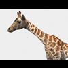 16 01 22 872 giraffe 2 4