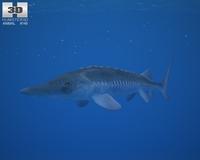 Atlantic Sturgeon (Acipenser Oxyrhynchus) 3D Model