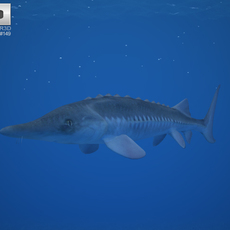 Atlantic Sturgeon (Acipenser Oxyrhynchus) 3D Model