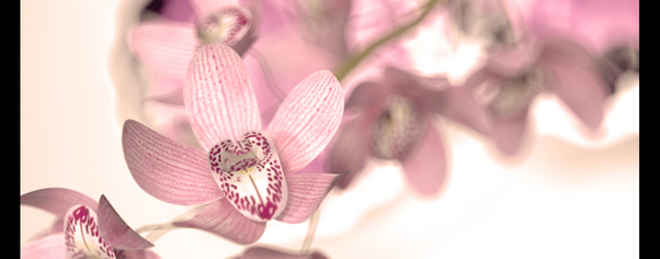 Orchid wide