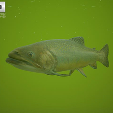Brook Trout 3D Model
