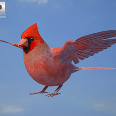 Northern Cardinal 3D Model