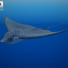 Spotted Eagle Ray 3D Model