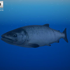 Chum Salmon 3D Model