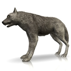 Detailed grey wolf 3D Model