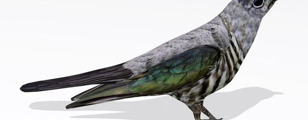 Cuckoor1 wide