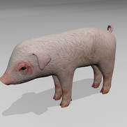 Pig r1 small