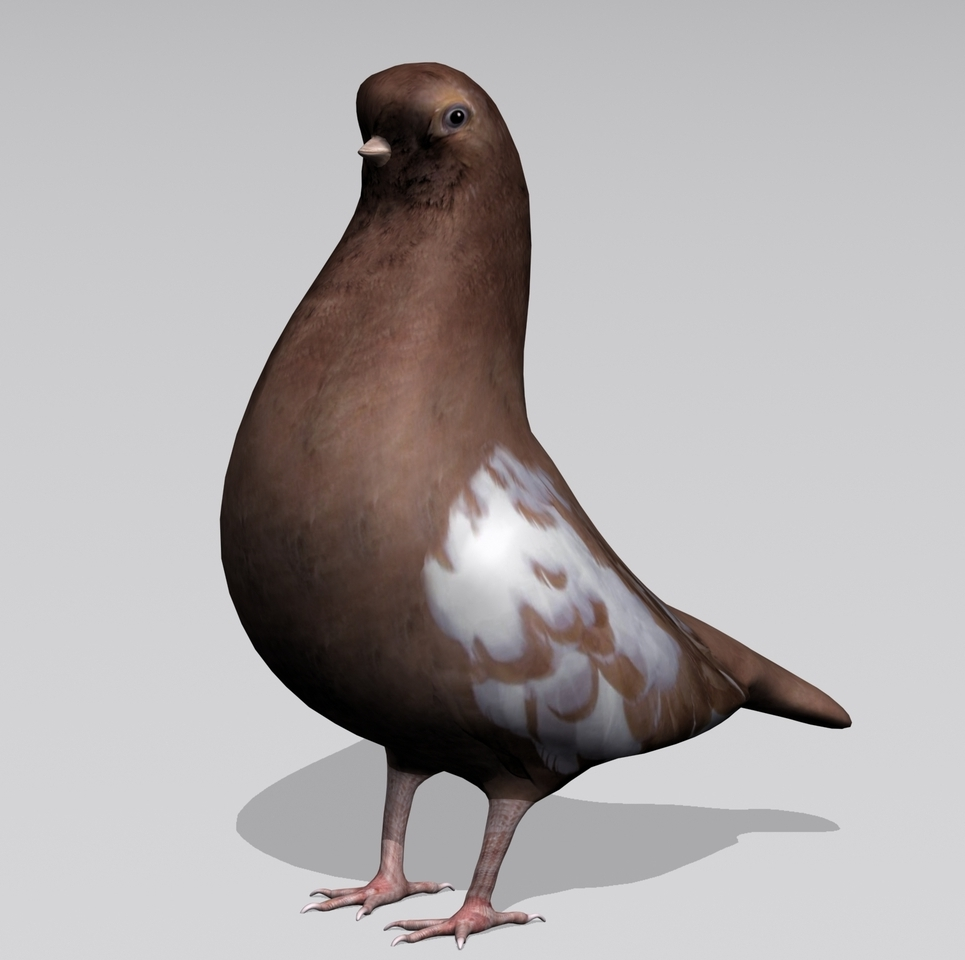 Pigeon3 show