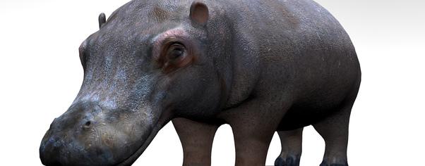 Hippo r1 wide