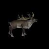 13 18 48 597 reindeerblackpic2 4
