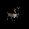 13 18 49 861 reindeerblackpic4 4