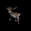 13 18 51 189 reindeerblackpic6 4