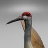 03 51 23 751 sandhill crane r7 4