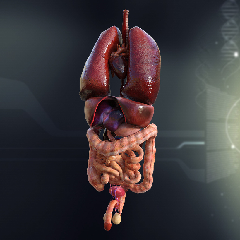 Human Male Internal Organs 3d Model