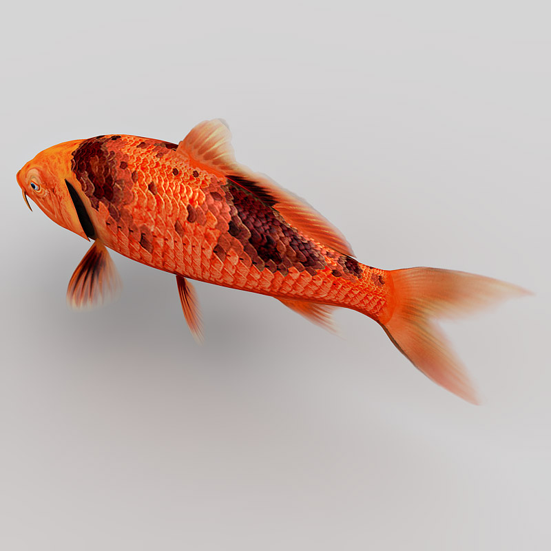 Koi fish collection 3d model for Koi fish size