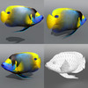 05 34 54 857 emperor angelfish 4
