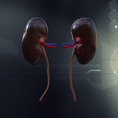 Human Kidney Anatomy 3D Model