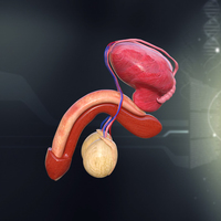 Human Male Organ Anatomy 3D Model