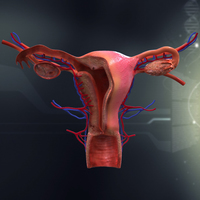 Human Female Organ Anatomy 3D Model