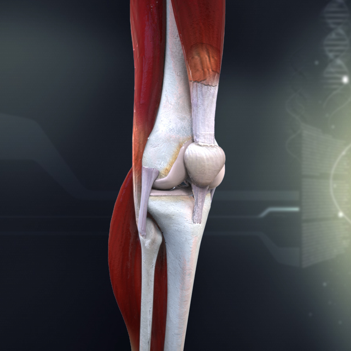 Human knee joint anatomy 3d model 07 40 27 759 knee 3 4 ccuart Gallery