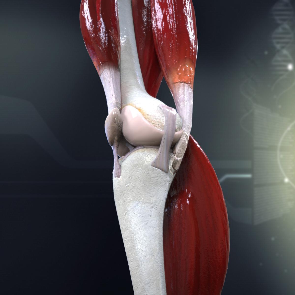 Human Knee Anatomy 3d