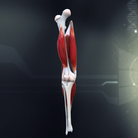 Human Knee Joint Anatomy 3D Model
