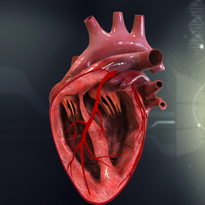 Human Heart Cutaway Anatomy 3D Model