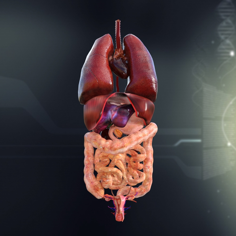 Human Female Internal Organs Anatomy 3D Model