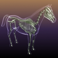 Horse Skeleton Anatomy in Body 3D Model