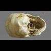 11 03 23 785 skull final copyright 03 4