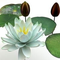 Nymphaea alba 3D Model