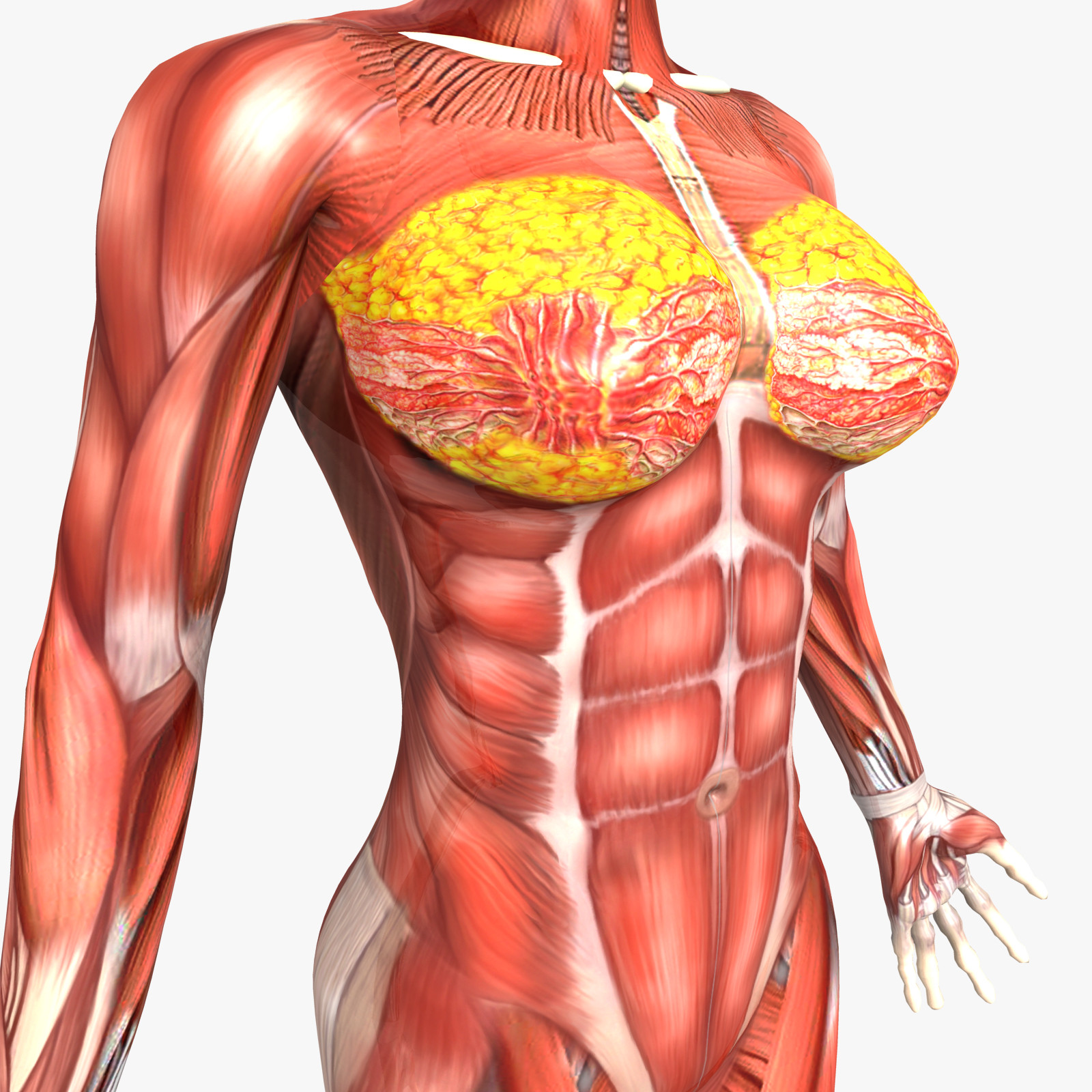 Human body anatomy female