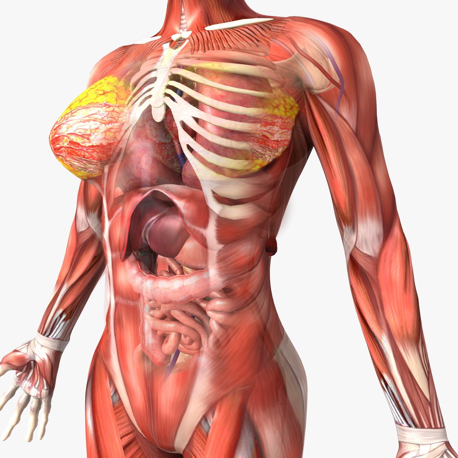 Human Male And Female Anatomy 3d Model