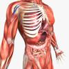 14 36 31 933 humanmaleanatomy 7.jpg6a798e4f 6e3e 4c5d 92ca f094e3f3984boriginal 4