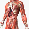 14 36 33 913 humanmaleanatomy 9.jpg8908a4b5 8a92 48d5 87f6 7d2980f209a0original 4