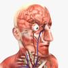 14 39 21 33 humanmaleanatomy 12.jpg978c92c1 81cd 450c af86 e346821ff0d3original 4