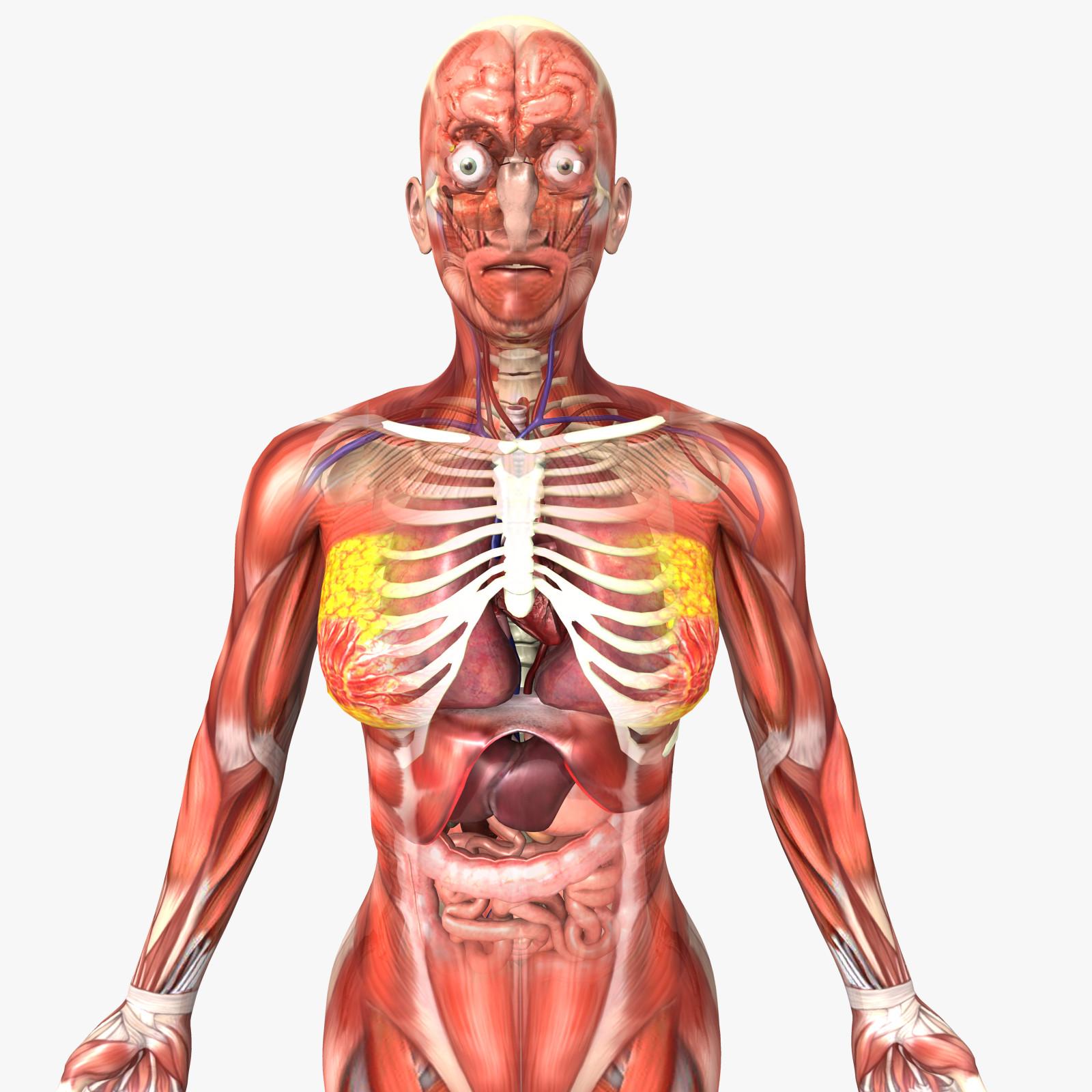 Human Body Internal Organs - Anatomy 3D Model