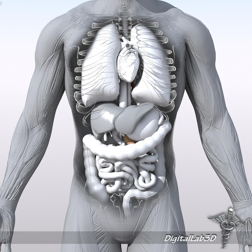 Human Male Anatomy 3D Model