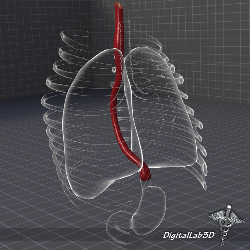 Esophagus Anatomy 3D Model