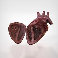 Human Heart Half 3D Model