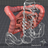 15 03 53 198 dl3d intestines 5 4