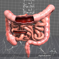 Human Large and Small Intestines Anatomy 3D Model