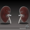 15 05 40 616 dl3d kidneyexternal wireframe 4